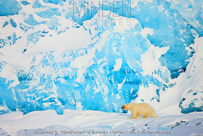 Polar bear (Ursus maritimus) in front of glacier, Spitsbergen, Svalbard, Norway, March 2009 BOOK and WWE OUTDOOR EXHIBITION NOT AVAILABLE FOR GREETING CARDS OR CALENDARS Wild Wonders kids book  -  WWE/ Liodden/ npl