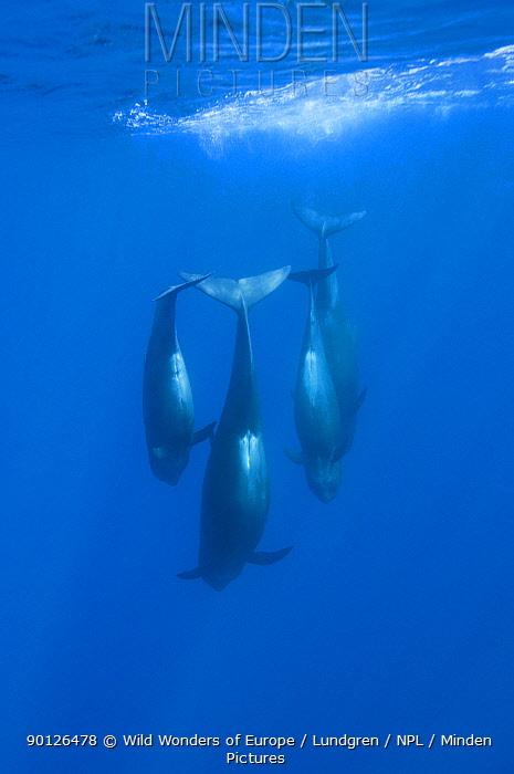 Four Short-finned pilot whales (Globicephala macrorhynchus) diving, Pico, Azores, Portugal, June 2009  -  WWE/ Lundgren/ npl
