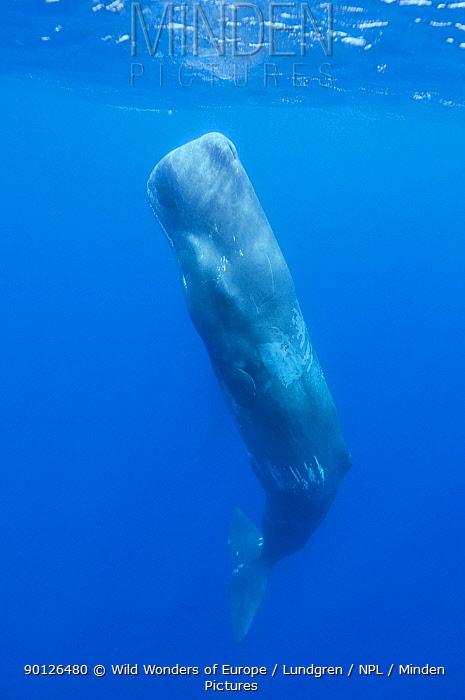 Sperm whale (Physeter macrocephalus) resting, Pico, Azores, Portugal, June 2009  -  WWE/ Lundgren/ npl