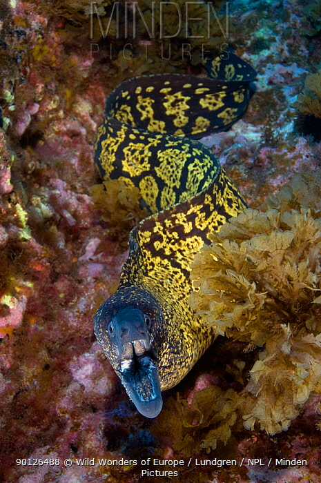 Marbled moray (Muraena helena) with mouth open, Princesa Alice, Azores, Portugal, June 2009  -  WWE/ Lundgren/ npl