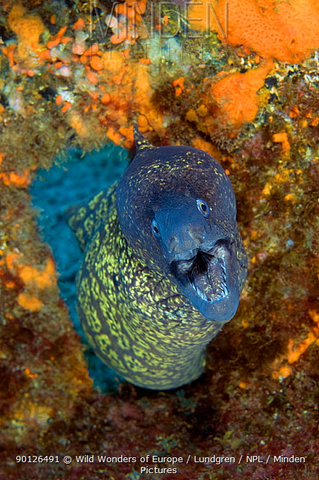 Marbled moray (Muraena helena) coming through hole with mouth open, Princesa Alice, Azores, Portugal, June 2009  -  WWE/ Lundgren/ npl