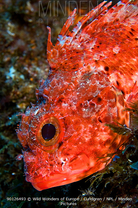 Scorpionfish (Scorpaena maderensis) portrait, Pico, Azores, Portugal, June 2009  -  WWE/ Lundgren/ npl