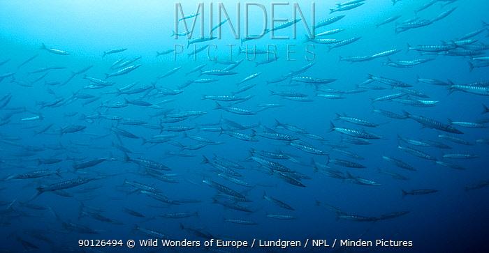 Shoal of Striped barracuda (Sphyraena viridensis) Pico, Azores, Portugal, July 2009  -  WWE/ Lundgren/ npl
