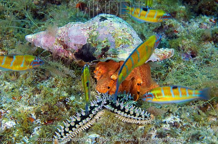 Hairy triton (Cymatium parthenopeum) feeding on a Spiny starfish (Marthasterias glacialis) Faial, Azores, Portugal, July 2009  -  WWE/ Lundgren/ npl