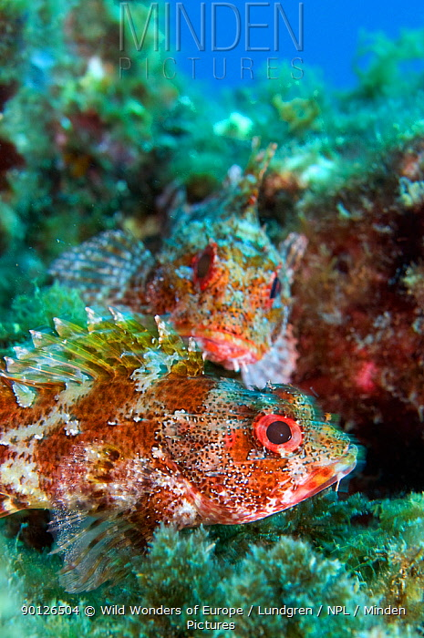 Scorpionfish (Scorpaena maderensis) Pico, Azores, Portugal, July 2009  -  WWE/ Lundgren/ npl
