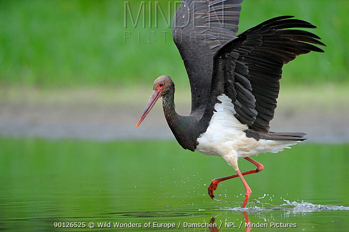Black stork (Ciconia nigra) just after landing, Elbe Biosphere Reserve, Lower Saxony, Germany, August 2008  -  WWE/ Damschen/ npl