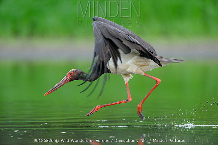 Black stork (Ciconia nigra) landing in water, Elbe Biosphere Reserve, Lower Saxony, Germany, August 2008  -  WWE/ Damschen/ npl