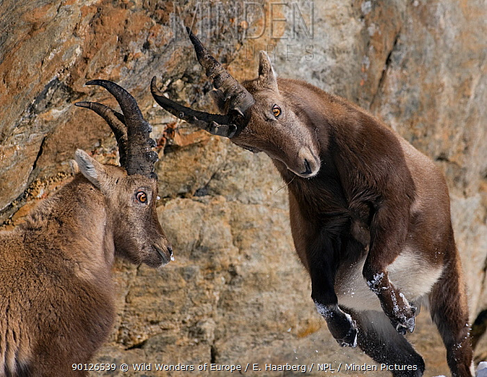 Two Alpine ibex (Capra ibex) fighting, Gran Paradiso National Park, Italy, November 2008  -  WWE/ E. Haarberg/ npl