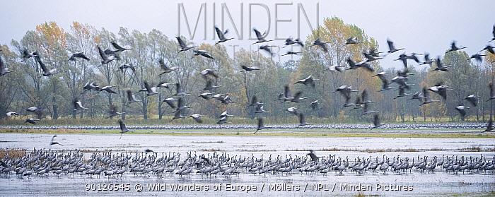 Common crane (Grus grus) flock, standing in water and in flight, Brandenburg, Germany, October 2008  -  WWE/ Mollers/ npl