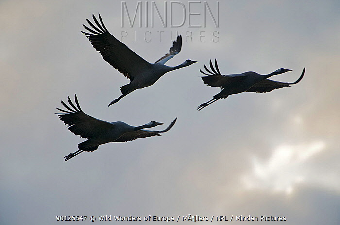 Three Common cranes (Grus grus) in flight, Brandenburg, Germany, October 2008  -  WWE/ Mollers/ npl