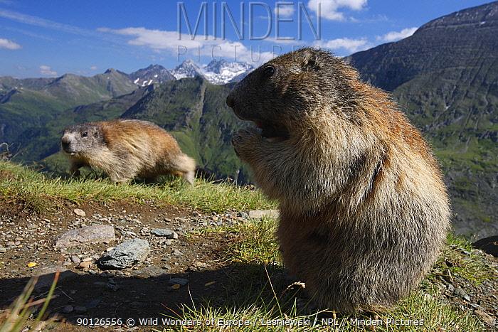 Alpine marmot (Marmota marmota) feeding, Hohe Tauern National Park, Austria, July 2008  -  WWE/ Lesniewski/ npl