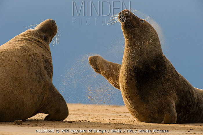 Two Grey seals (Halichoerus grypus) fighting, Donna Nook, Lincolnshire, UK, November 2008  -  WWE/ Geslin/ npl