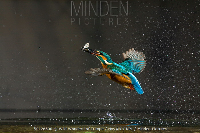 Common kingfisher (Alcedo atthis) in flight with fish prey, Balatonfuzfo, Hungary, January 2009  -  WWE/ Novak/ npl