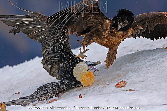 Lammergeier, Bearded vulture (Gypaetus barbatos) adult and juvenile squabbling over food in snow, Cebollar, Torla, Aragon, Spain, November 2008 WWE INDOOR EXHIBITION  -  WWE/ Elander/ npl