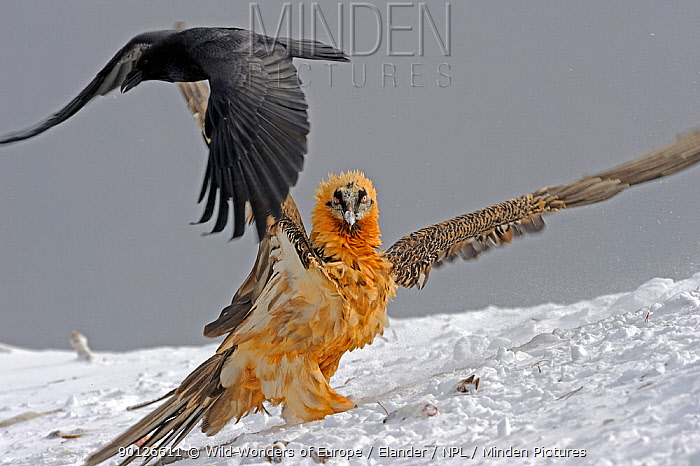 Lammergeier, Bearded vulture (Gypaetus barbatos) with wings stretched out and Carrion crow (Corvus corone corone) in flight, Cebollar, Torla, Aragon, Spain, November 2008  -  WWE/ Elander/ npl