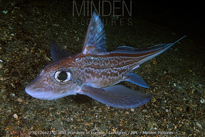 Ratfish Oil Norway Minden Pictures...