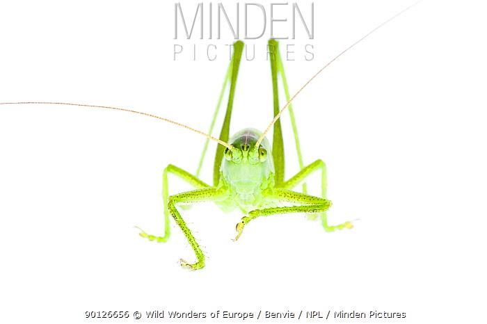 Male Great green bush cricket (Tettigonia viridissima) Fliess, Naturpark Kaunergrat, Tirol, Austria, July 2008  -  WWE/ Benvie/ npl