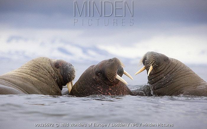 Three Walruses (Odobenus rosmarus) in water, Richardlagunen, Forlandet National Park, Prins Karls Forland, Svalbard, Norway, June 2009  -  WWE/ Liodden/ npl