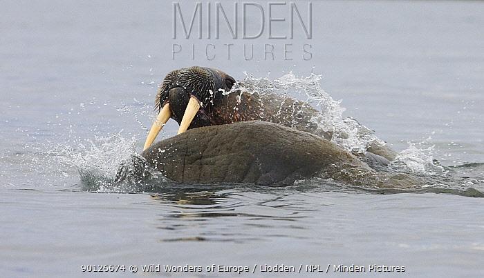 Two Walruses (Odobenus rosmarus) in water fighting, Richardlagunen, Forlandet National Park, Prins Karls Forland, Svalbard, Norway, June 2009  -  WWE/ Liodden/ npl