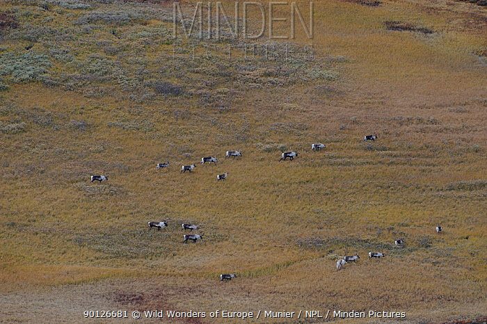 forollhogna national park, norway, september,wild reindeer  -  WWE/ Munier/ npl