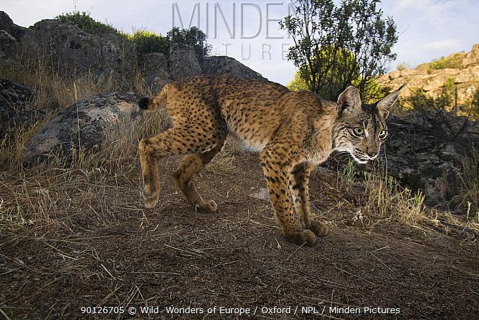 Wild Iberian lynx (Lynx pardinus) male, Sierra de And�jar Natural Park, Mediterranean woodland of Sierra Morena, north east Ja?n Province, Andalusia, Spain, April 2009, Critically endangered  -  WWE/ Oxford/ npl