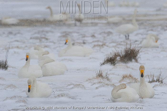 Whooper swans (Cygnus cygnus) sitting in snow, Lake Tysslingen, Sweden, March 2009  -  WWE/ Unterthiner/ npl