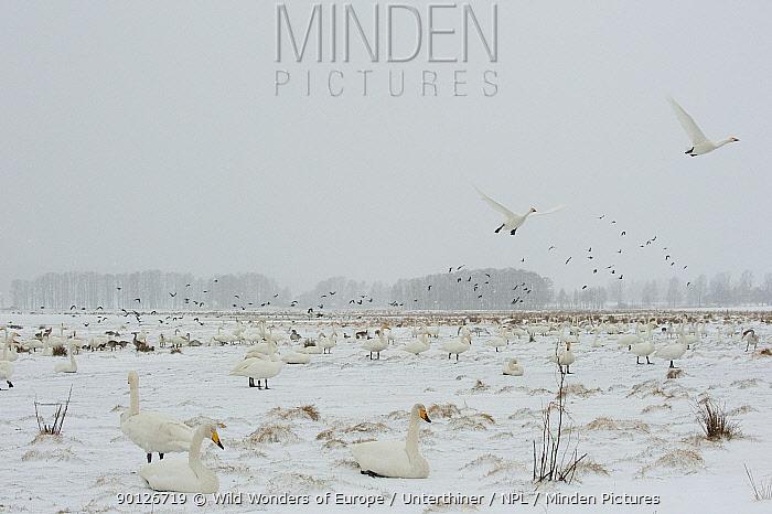 Whooper swans (Cygnus cygnus) in snow, Lake Tysslingen, Sweden, March 2009  -  WWE/ Unterthiner/ npl