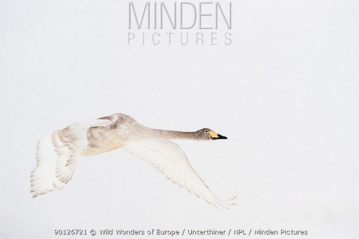 Whooper swan (Cygnus cygnus) immature adult in flight, Lake Tysslingen, Sweden, March 2009  -  WWE/ Unterthiner/ npl
