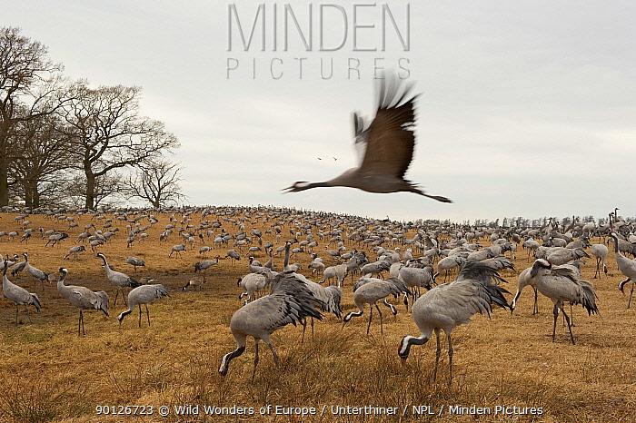 Common, Eurasian cranes (Grus grus) Lake Hornborga, Sweden, April 2009  -  WWE/ Unterthiner/ npl