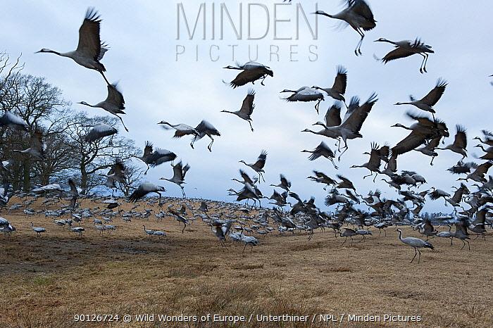 Common, Eurasian cranes (Grus grus) landing, Lake Hornborga, Sweden, April 2009  -  WWE/ Unterthiner/ npl
