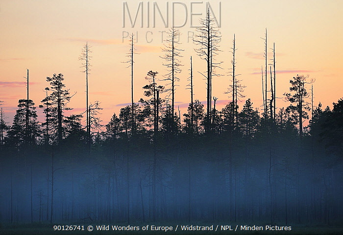 Scots pine trees (Pinus sylvestris) in taiga bog, with light mist at dawn, Kuhmo, Finland, July 2008  -  WWE/ Widstrand/ npl
