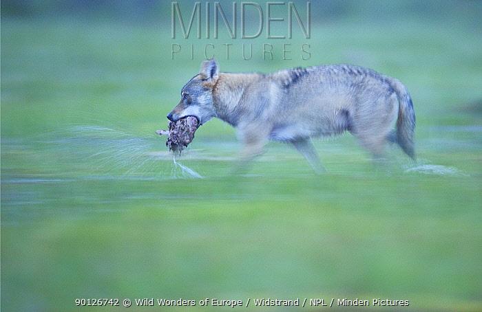 Eurasian, Grey wolf (Canis lupus) carrying food, Kuhmo, Finland, July 2008  -  WWE/ Widstrand/ npl