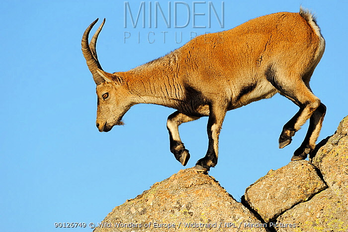 Female Iberian, Spanish ibex (Capra pyrenaica) on rocks, Gredos mountains, Spain, November 2008  -  WWE/ Widstrand/ npl