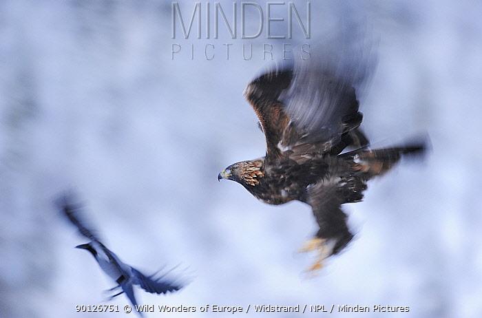 Golden eagle (Aquila chrysaetos) and Hooded crow (Corvus corone cornix) in flight, Flatanger, Norway, November 2008  -  WWE/ Widstrand/ npl