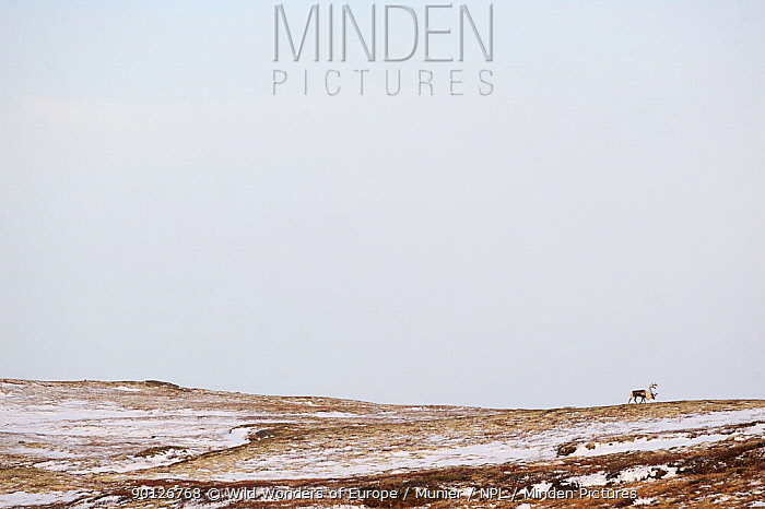Reindeer (Rangifer tarandus) in Forollhogna National Park, Norway, September 2008  -  WWE/ Munier/ npl
