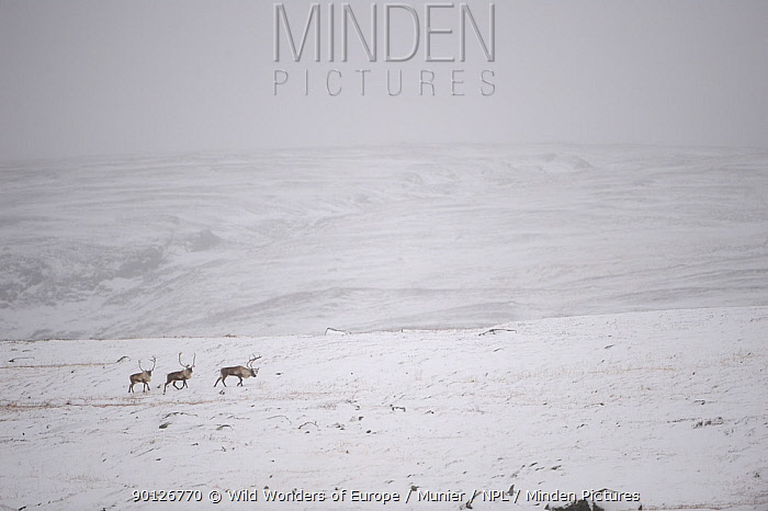 Three Reindeer (Rangifer tarandus) walking through snow covered landscape, Forollhogna National Park, Norway, September 2008  -  WWE/ Munier/ npl