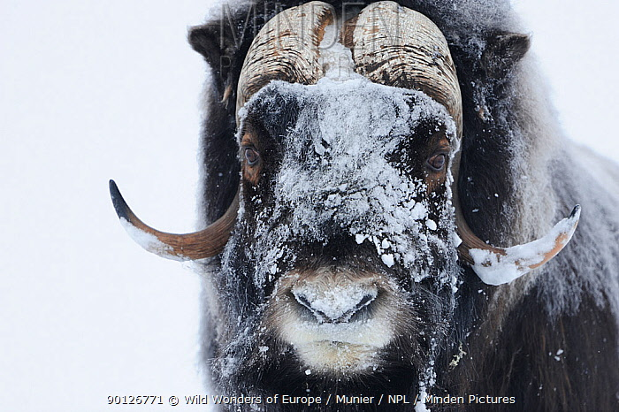 Muskox (Ovibos moschatus) with snow on face, Dovrefjell National Park, Norway, February 2009 WWE INDOOR EXHIBITION  -  WWE/ Munier/ npl