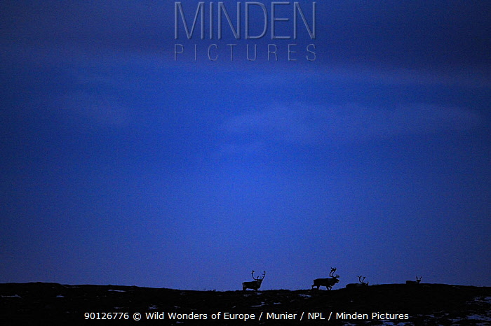 forollhogna national park, norway, september,wild reindeer  -  WWE/ Munier/ npl