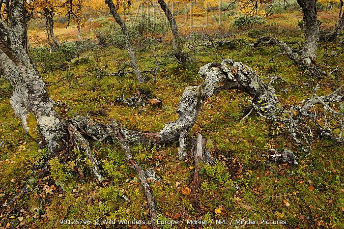 Twisted tree trunks, Forollhogna National Park, Norway, September 2008  -  WWE/ Munier/ npl