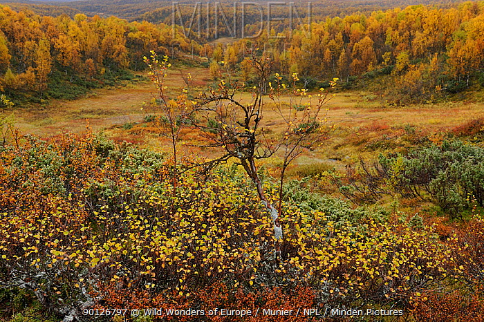 Landscape with forest in the distance in autumn colours, Forollhogna National Park, Norway, September 2008  -  WWE/ Munier/ npl