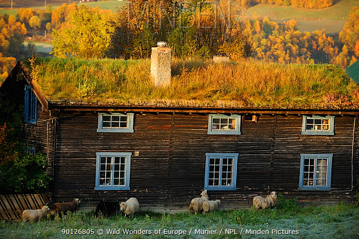 Sheep next to traditional wood farm house with grass roof, Forollhogna National Park, Norway, September 2008  -  WWE/ Munier/ npl