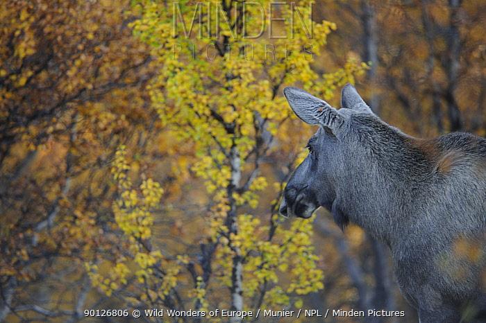 Moose (Alces alces) Forollhogna National Park, Norway, September 2008  -  WWE/ Munier/ npl