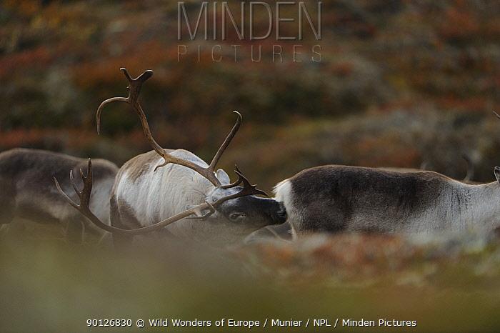 Reindeer (Rangifer tarandus) sniffing another, Forollhogna National Park, Norway, September 2008  -  WWE/ Munier/ npl
