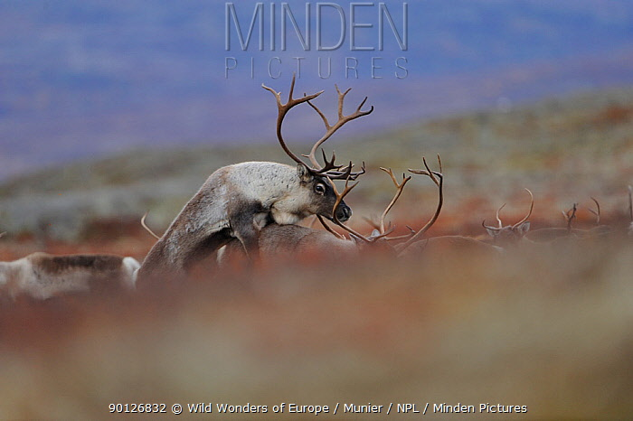 Reindeer (Rangifer tarandus) pair mating, Forollhogna National Park, Norway, September 2008  -  WWE/ Munier/ npl