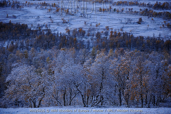 Light snow covering trees, Forollhogna National Park, Norway, September 2008  -  WWE/ Munier/ npl