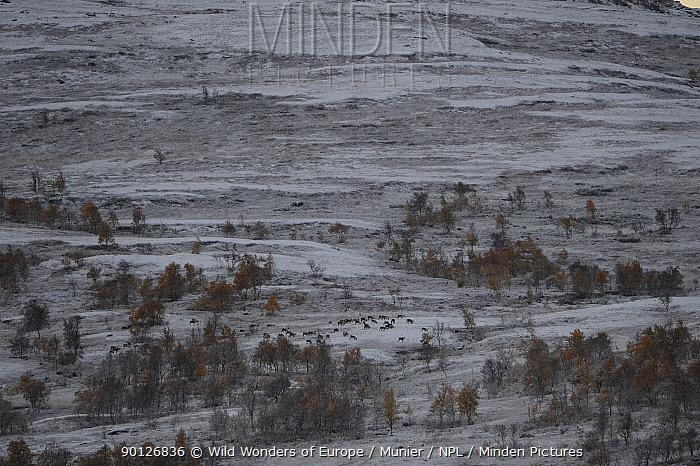 Reindeer (Rangifer tarandus) grazing in landscape covered in light snow, Forollhogna National Park, Norway, September 2008  -  WWE/ Munier/ npl