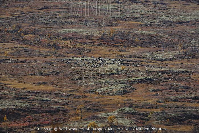 Reindeer (Rangifer tarandus) herd grazing, Forollhogna National Park, Norway, September 2008  -  WWE/ Munier/ npl