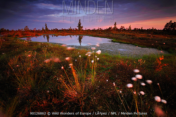 Cotton grass (Eriophorum) growing in wetland bog at sunset, Kemeri National Park, Latvia, June 2009  -  WWE/ Lopez/ npl