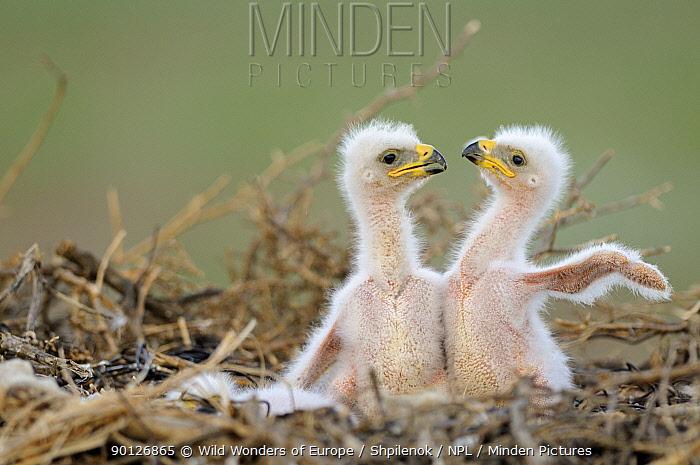Two Steppe eagle (Aquila nipalensis) chicks in their nest Cherniye Zemli (Black Earth) Nature Reserve, Kalmykia, Russia, May 2009 Wild Wonders kids book  -  WWE/ Shpilenok/ npl
