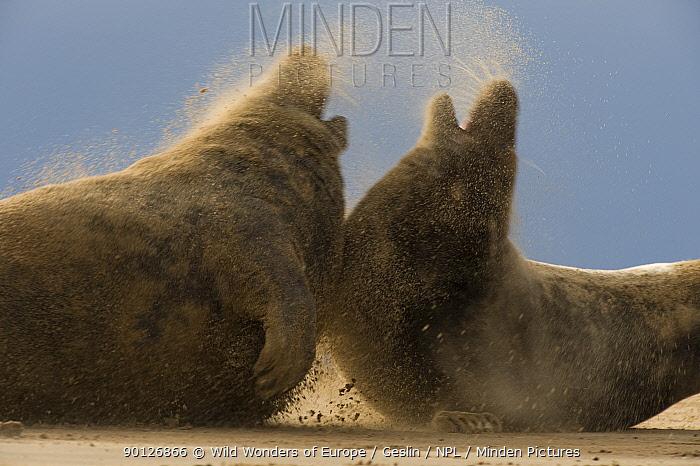 Two Grey seals (Halichoerus grypus) aggressive behaviour, wind blowing sand, Donna Nook, Lincolnshire, UK, November 2008  -  WWE/ Geslin/ npl